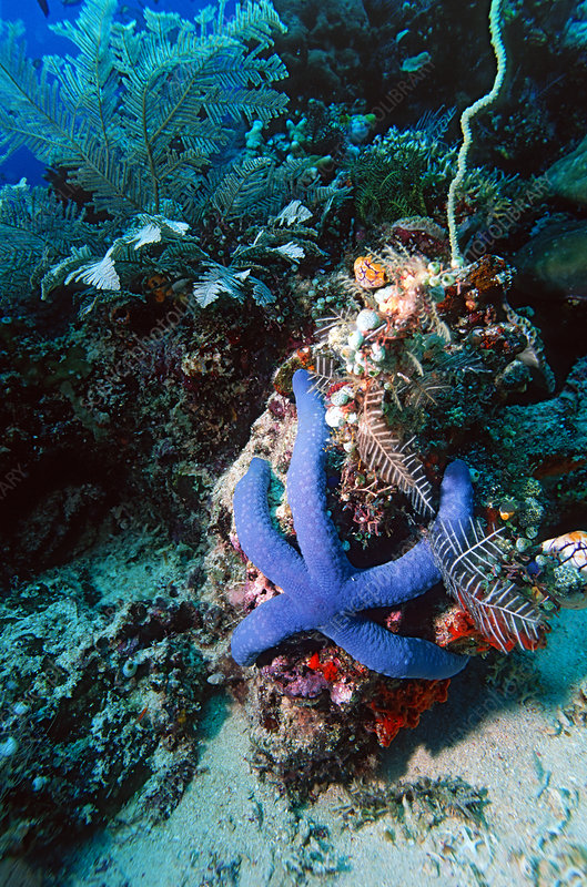 Blue Linckia starfish