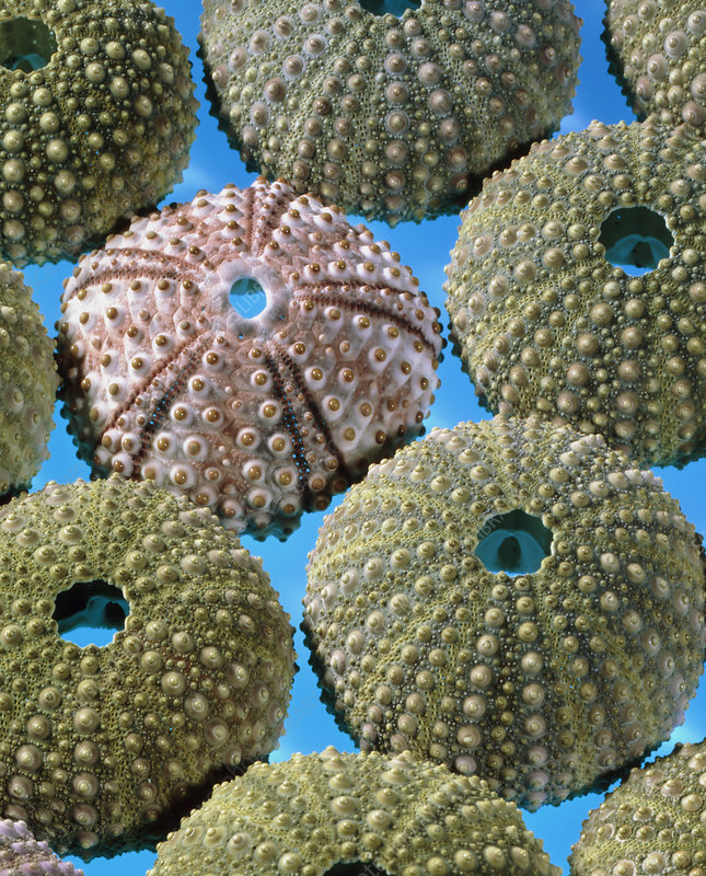 shells in sea. Shells of sea urchins (class: