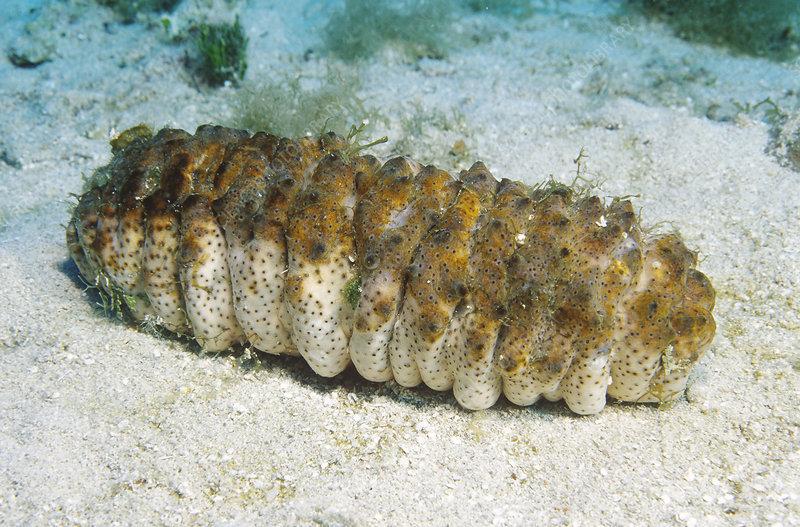 Donkey Dung Sea Cucmber