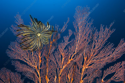 Sea fan and crinoid