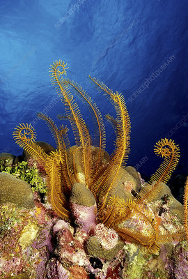 Golden crinoid