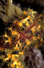 Brittle star on a zoanthid