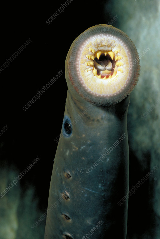 Pacific lamprey mouth