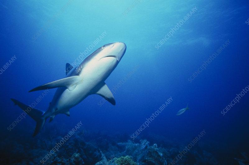 Caribbean reef shark, Carcharhinus springeri