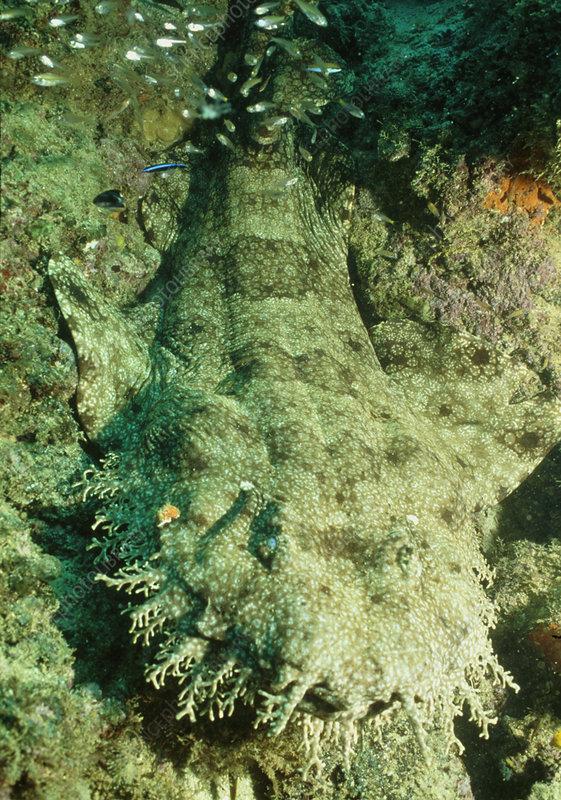 Tasselled wobbegong shark