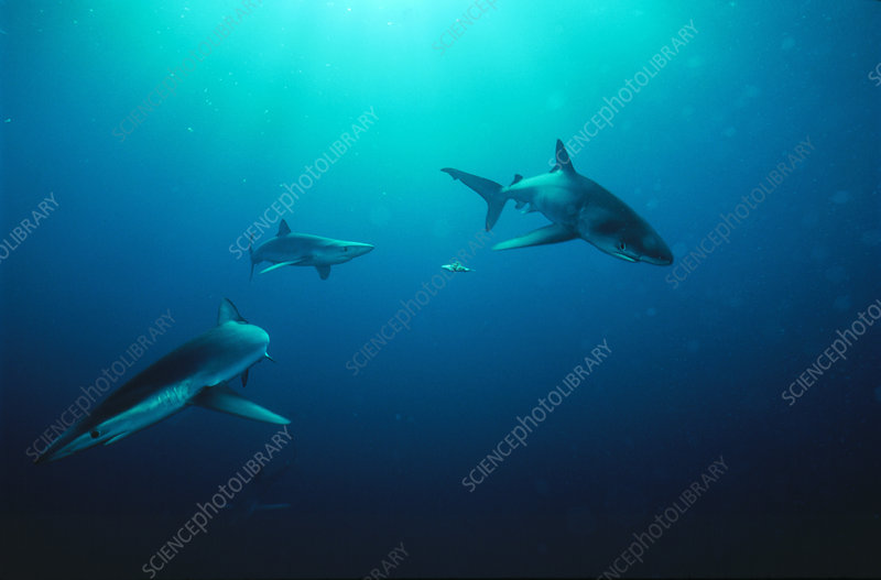 Blue sharks (Prionace glauca) with bait