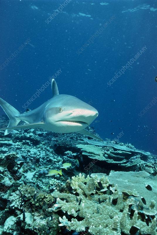 Silvertip shark (Carcharhinus albimarginatus)