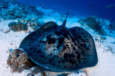 Black blotched stingray