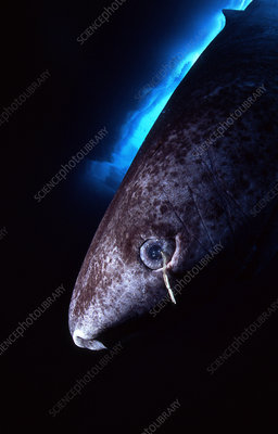 Greenland shark with copepod parasite
