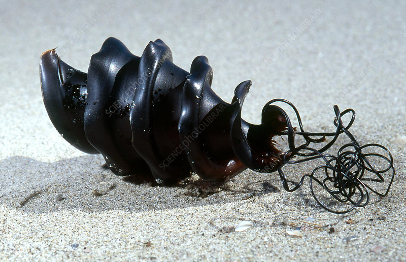 Shark Egg Case
