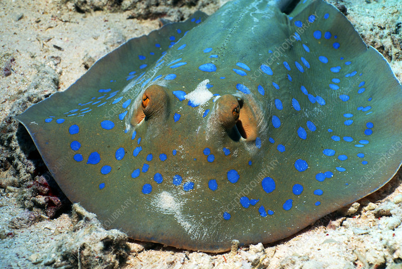 Bluespotted ribbon ray
