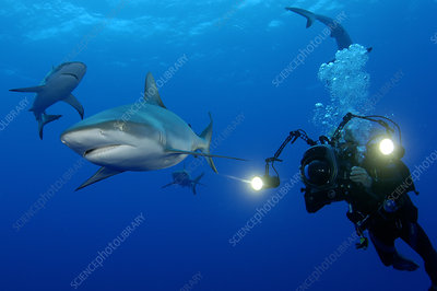 Grey Reef Shark and Diver