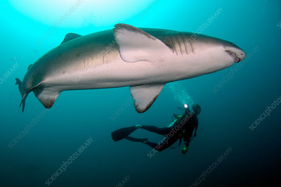 Diver with Sand Tiger Shark