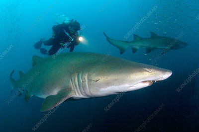 Diver with Sand Tiger Sharks