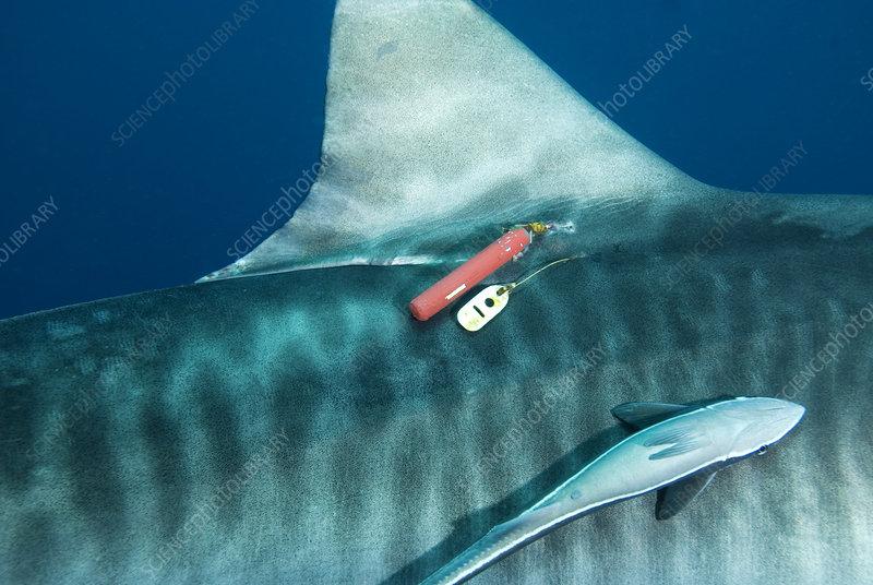 Tiger shark tagging