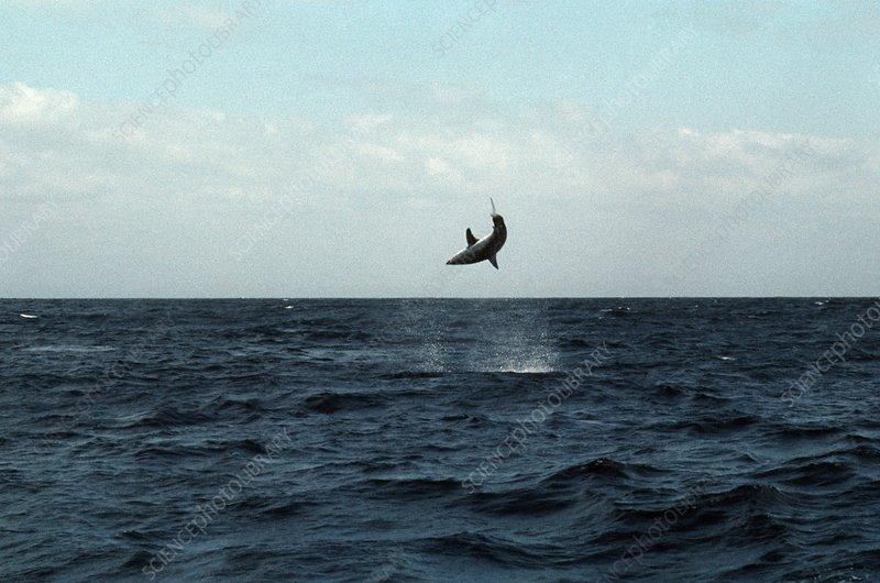 Mako shark on a fishing line