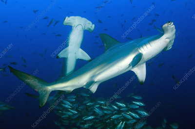 Scalloped Hammerheads