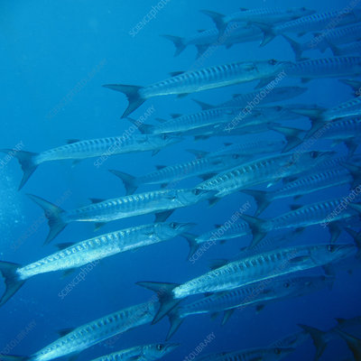 School of Great Barracuda