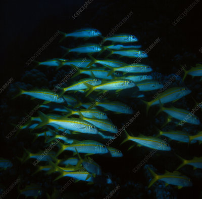 Shoal of Yellow Goatfish