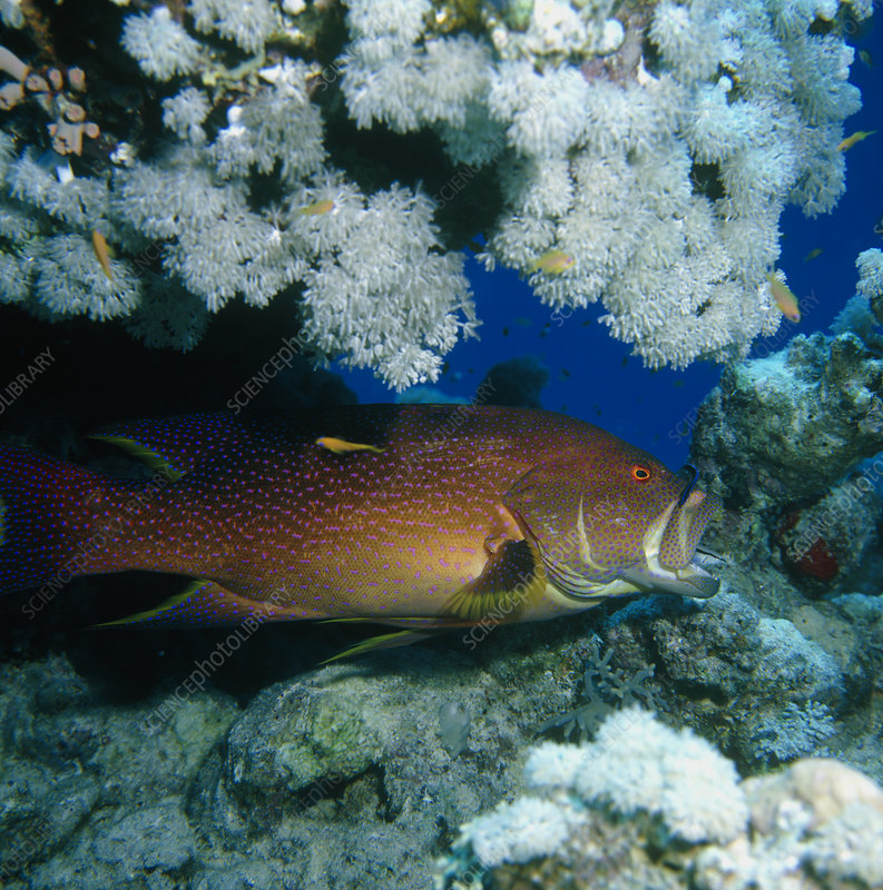 Painted coral trout in the Red Sea, Egypt