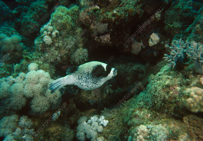 Unidentified species of puffer fish in the Red Sea