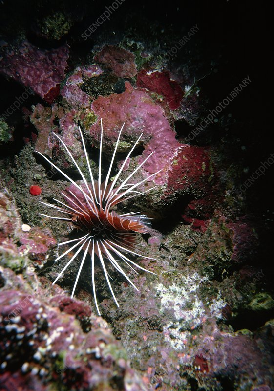 Lion fish, Pteropterus radiatus, in the Red Sea