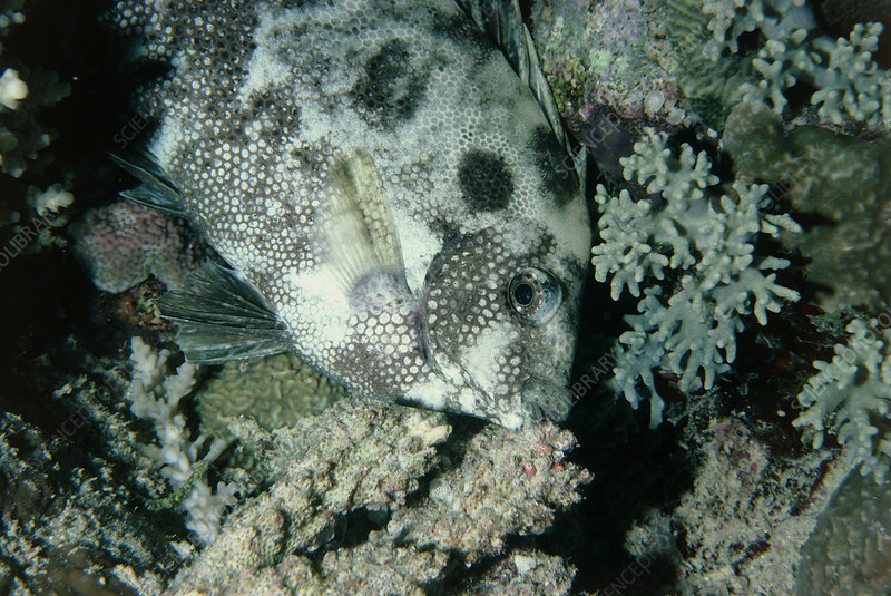 Rabbit fish asleep among coral in the Red Sea