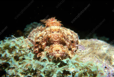 Scorpion fish in the Red Sea