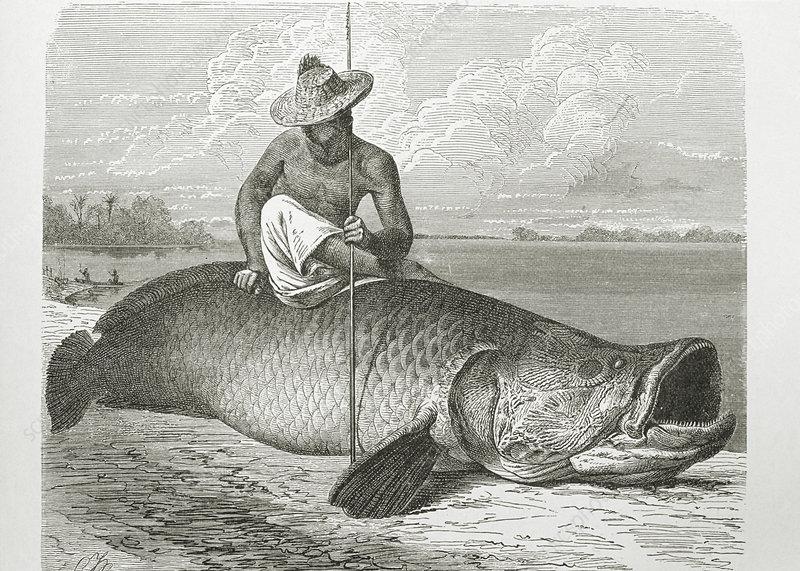 Engraving of the giant Arapaima fish