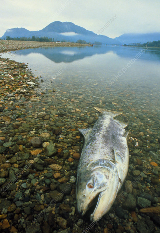 A dead chinook salmon seen shortly after spawning