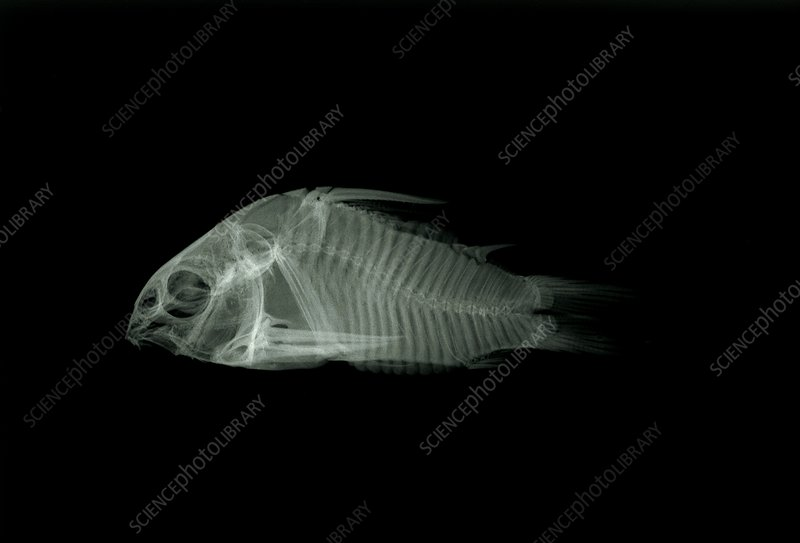 X-ray of the skeleton of a catfish