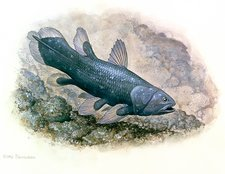 Artwork of a Coelacanth fish, Latimeria chalumnae