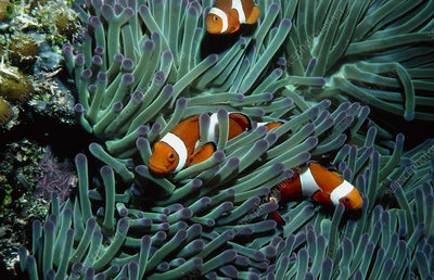 Clown fish, Amphiprion, among anemone tentacles.