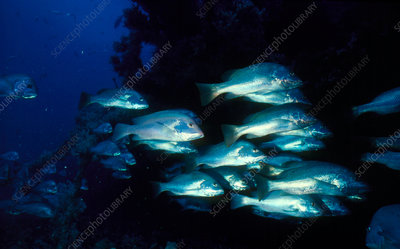 Shoal of moses perch, Lutyanus russelli.