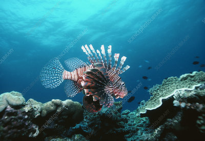 Lionfish, Pterois volitans, in coral reef