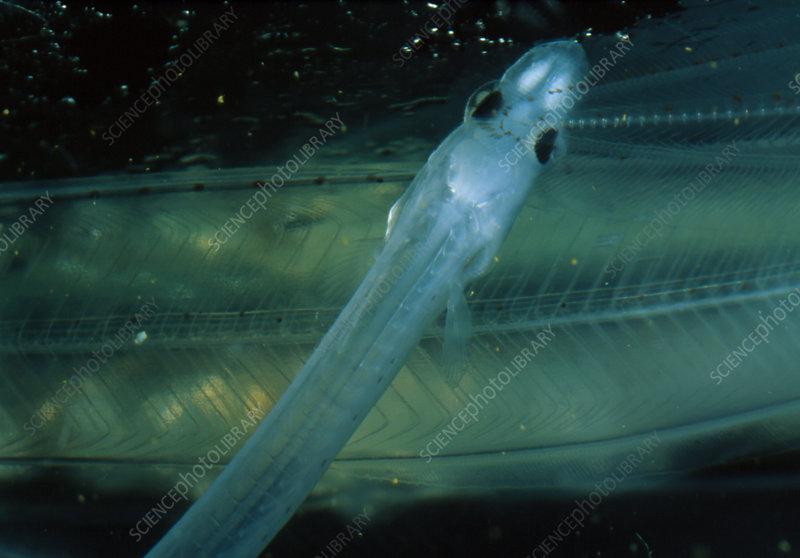 Leptocephalus larva of the Japanese eel
