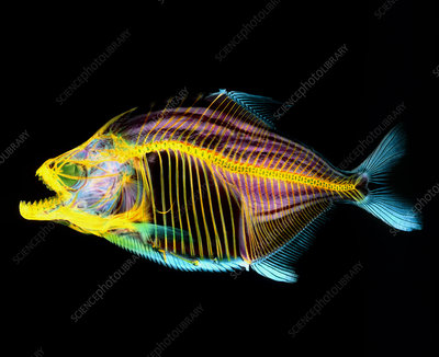 Coloured X-ray of a piranha fish, Serrasalmus sp.