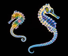 Coloured X-ray of two seahorses, Hippocampus sp.