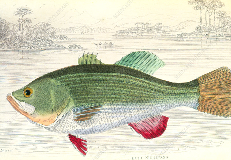 Art of largemouth bass