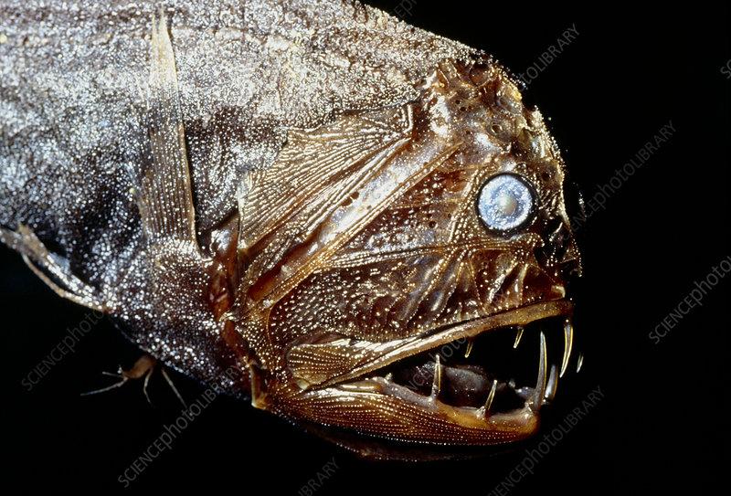 anoplogaster fish