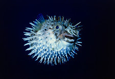 View of a spiny puffer fish, Diodon holocanthus