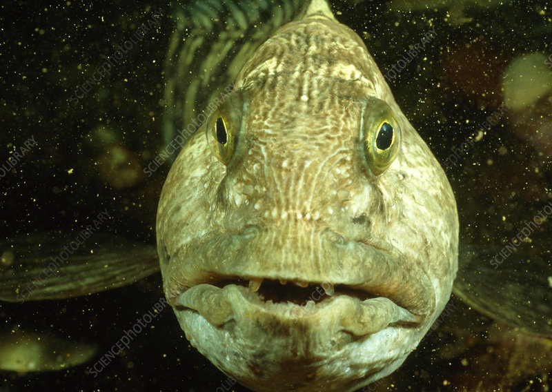 View of a wolf fish, Anarrhichas lupus