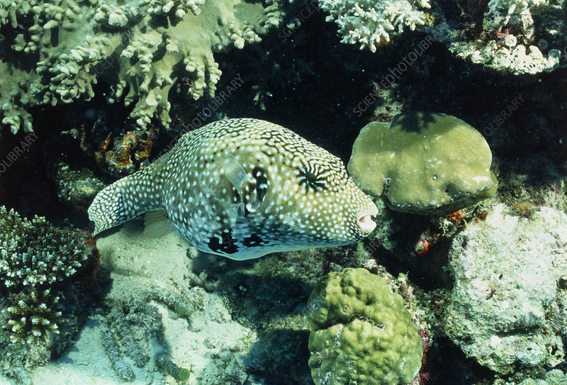Map pufferfish (Arothron mappa) amongst coral