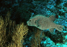 Spotted pufferfish (Arothron meleagris)