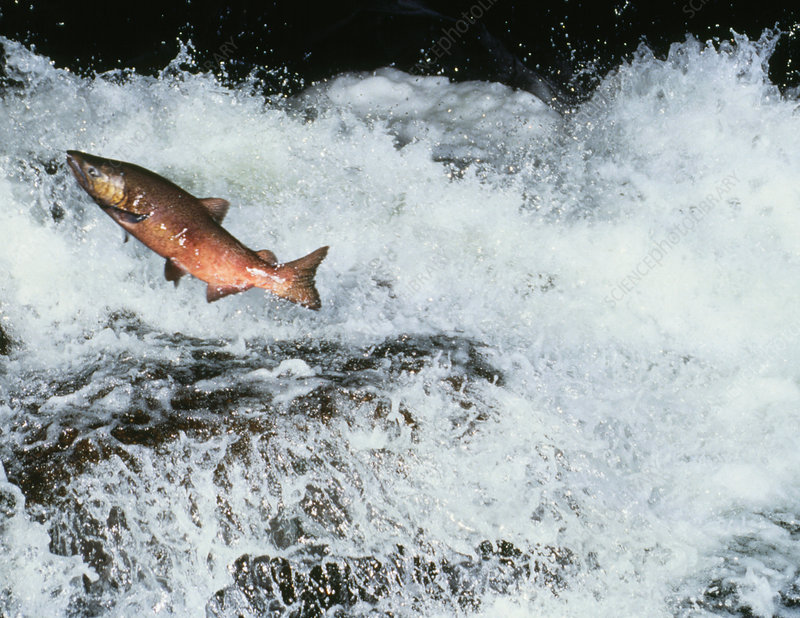 Chinook salmon leaps