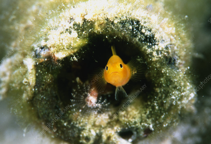 Yellow sand goby
