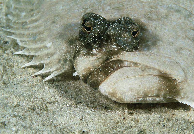 Leopard flounder