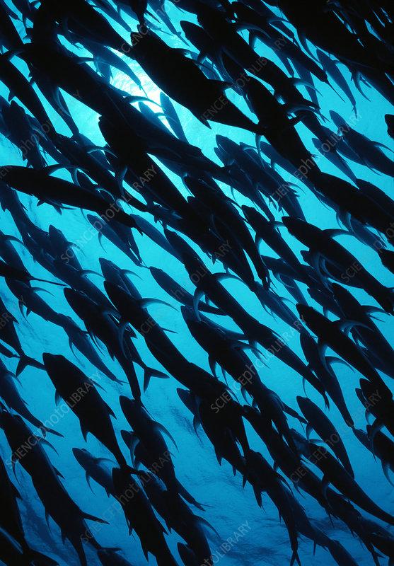 Schooling jackfish