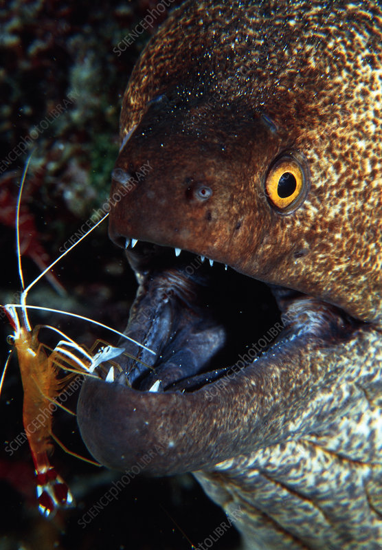 Moray eel & shrimp