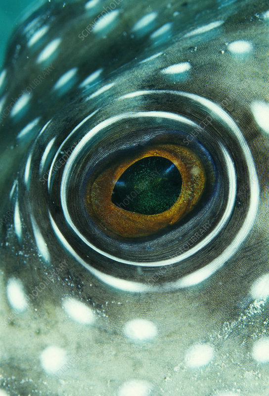 White-spotted pufferfish eye